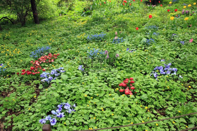 花草-三色紫罗兰 草地 田地 俄罗斯 植物学 灌木 植物 花坛 莫斯科 春天