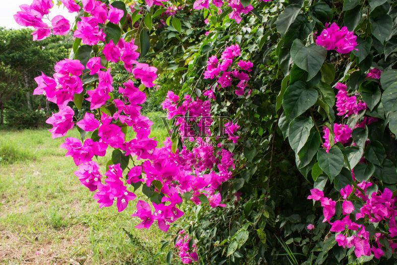 花卉-香水 草地 白色 花坛 花头 春天 夏天 自然 无人 花 多色的 紫色 户外