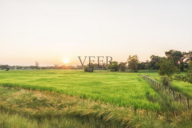 草地 田地 谷类 已经垦殖的土地 稻 生长 植物 稻田 农场 自然 景观设计