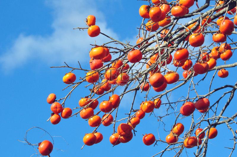 水果 无人 柿子树 成分 食品 柿子树