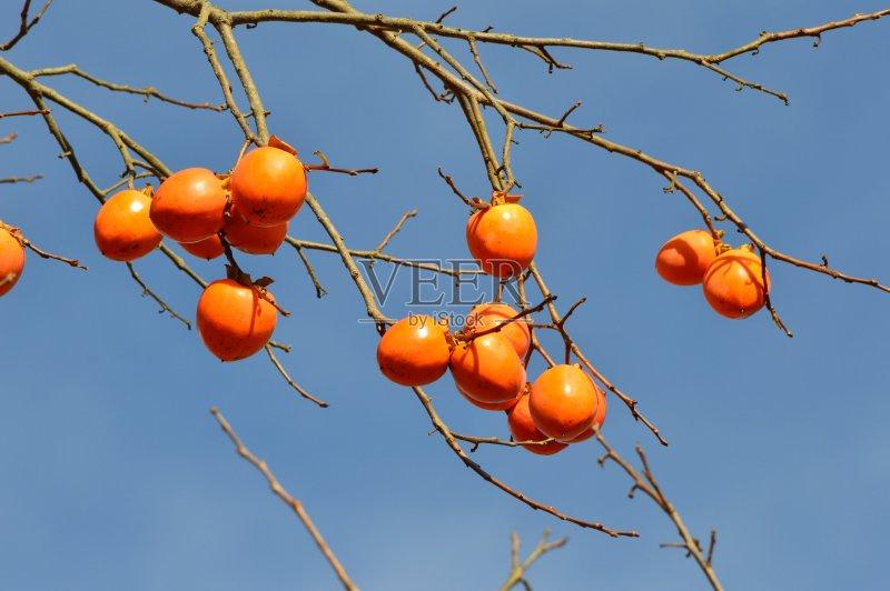 成分 食品 柿子树 柿子树