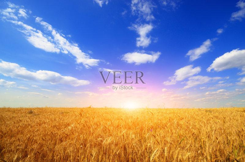 麦田-谷类 植物 小麦 天空 裸麦 太阳 自然 景观设计 黄色 农作物 农业