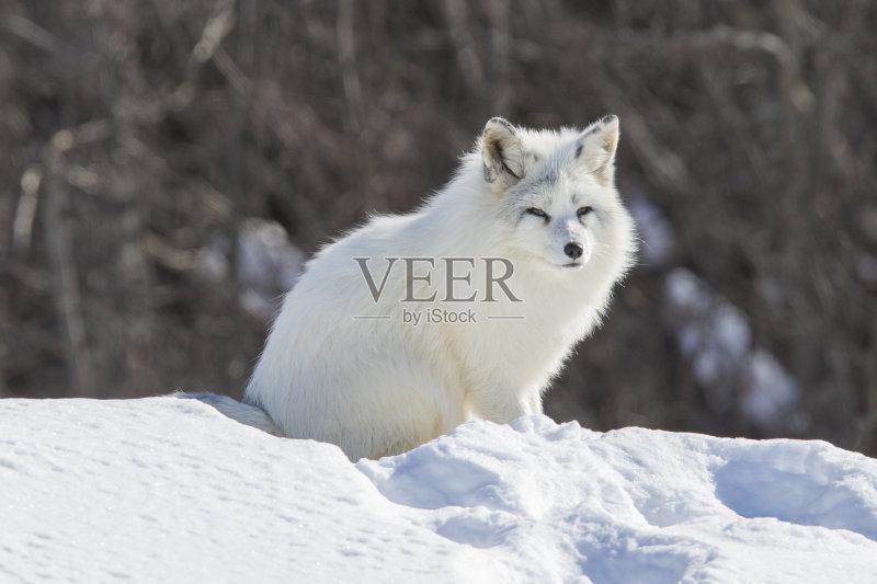 狐狸 哺乳纲 北极狐 人的脸部 寒冷 北极图片