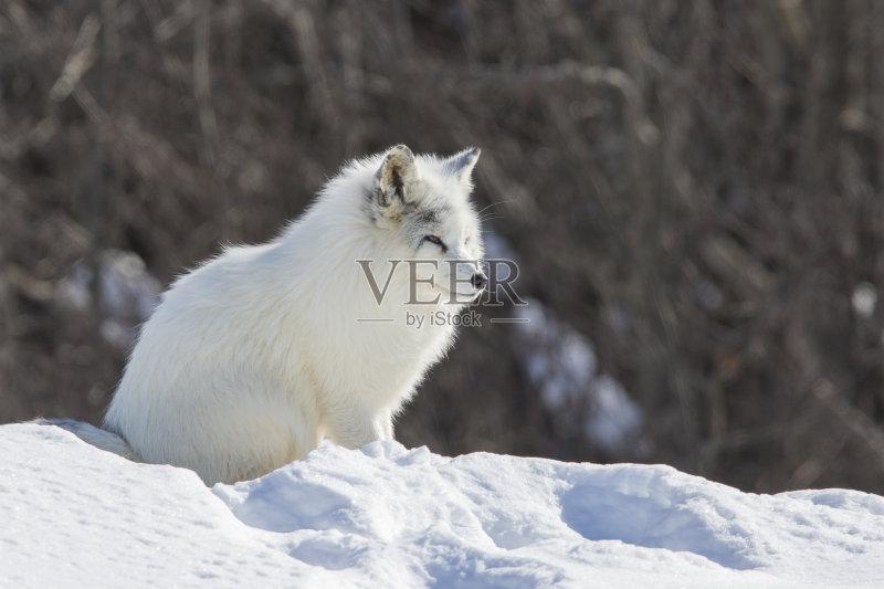 林 野外动物 北极狐 动物 动物躯体的组成部分 加拿大 人体 狐狸 哺乳图片