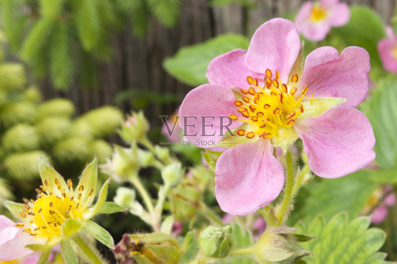 花草-无人 粉色 花 绿色 叶子 植物 花头 庭院 草莓 自然 户外 草莓地