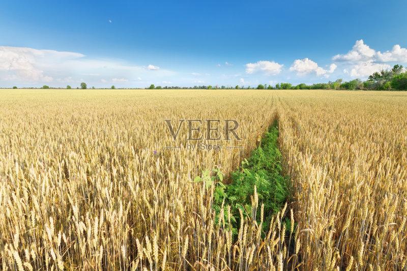 麦田-谷类 工厂 生长 有机农庄 光 红色 式样 小麦 天空 太阳 自然 黄色