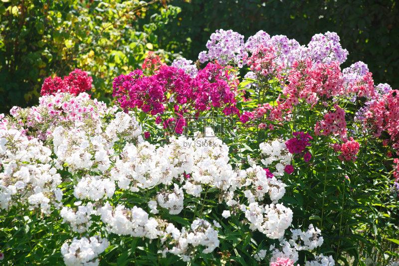 花卉-自然美 美 植物 草夹竹桃属 自然