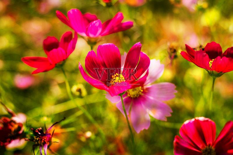 花草-秋天 花瓣 植物 花头 式样 雌蕊 自然 黄色 枝 无人 粉色 华丽的 植