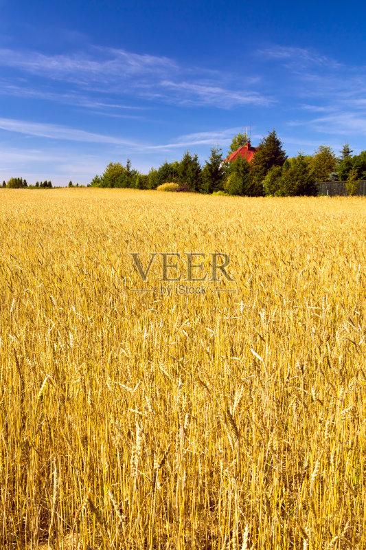 麦田-谷类 草地 陆地 生长 晴朗 植物 小麦 天空 裸麦 自然 黄色 农作物