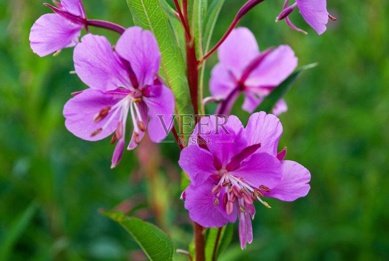 花草-无人 野花 花 杂草 植物 紫色 未经垦殖的土地
