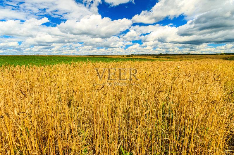 麦田-秋天 谷类 草地 陆地 生长 环境 白色 晴朗 明亮 植物 小麦 天空 自
