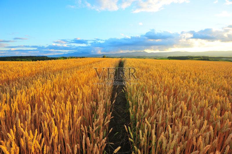 麦田-谷类 草地 陆地 环境 白色 山 植物 菜园 小麦 天空 太阳 自然 黄色