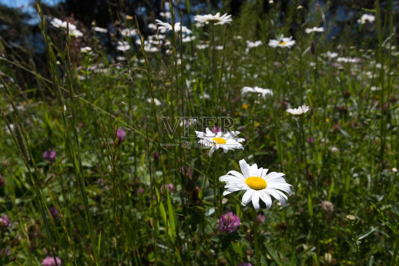 花草-山谷 草地 田园风光 山 叶子 牧场 蓝色 夏天 自然 无人 岩石 三叶草