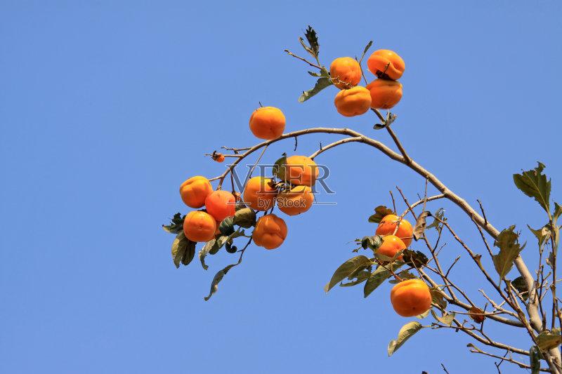 水果 无人 柿子树 食品 美味 蓝色 非都市风光 枝 户外