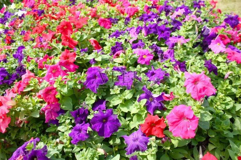 花卉-无人 花 植物 花坛 多色的 夏天 园林 户外