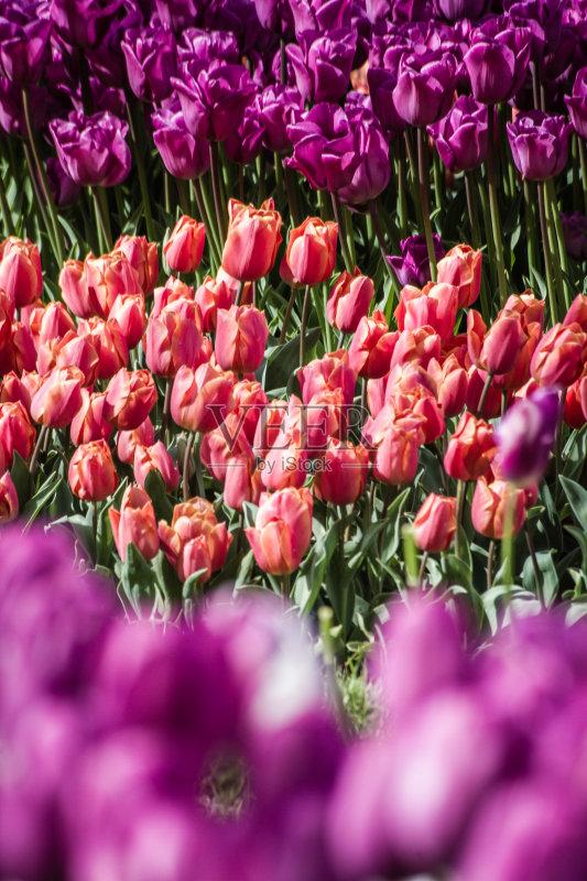 3到4个月 花卉商 粉色 农业 郁金香 园艺 清新 季节 草 多色的 户外