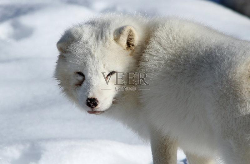 魁北克 银色 北极狐 野外动物 加拿大 北 野生动物 狐狸 岩石 哺乳纲 图片