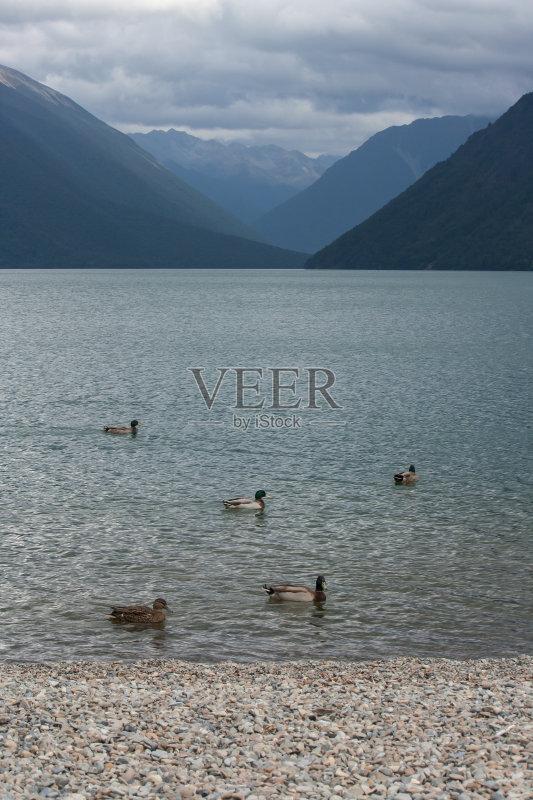 新西兰 暴风雨 乌云 湖岸 家禽 鸭子 水禽 鹅卵石 野生动物 野鸭 河岸 游