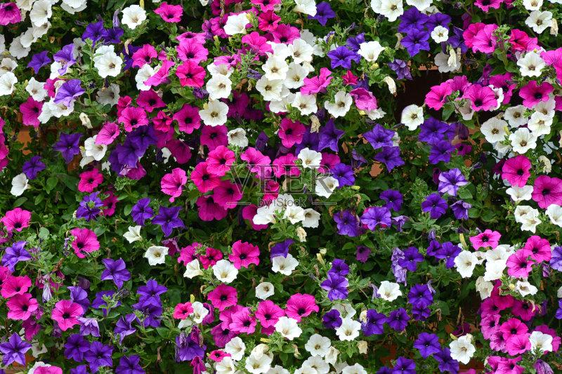 花卉-小号 已经垦殖的土地 植物学 收集 矮牵牛花 夏天 自然 无人 花 装