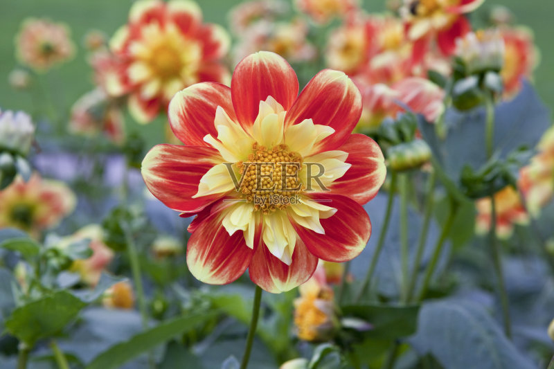 花卉-无人 花 绿色 叶子 红色 植物 花坛 大丽花属 自然 黄色 户外