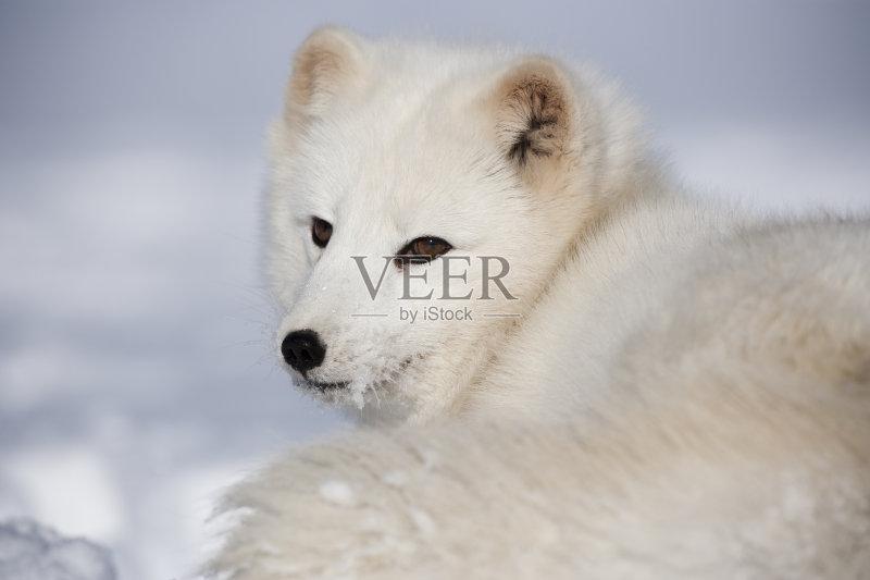 加 动物耳朵 北极狐 自然 动物眼睛 阴谋 冻原 动物毛发 户外 犬科的 图片