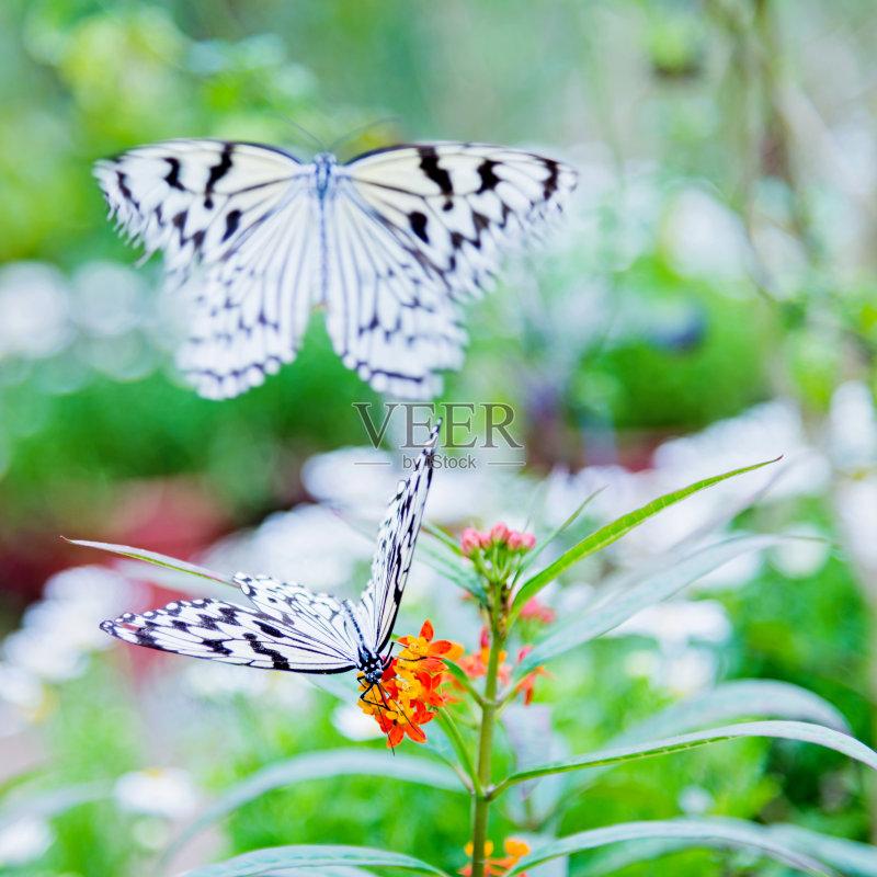 白色 植物 纸风筝蝶 昆虫 自然 白昼 改变 脆弱 鳞翅类 野生动物 动物群