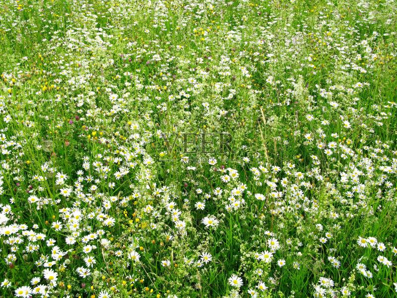 花草-草地 自然美 绿色 白色 植物 花头 春天 黄色 茼蒿菊 无人 花 雏菊