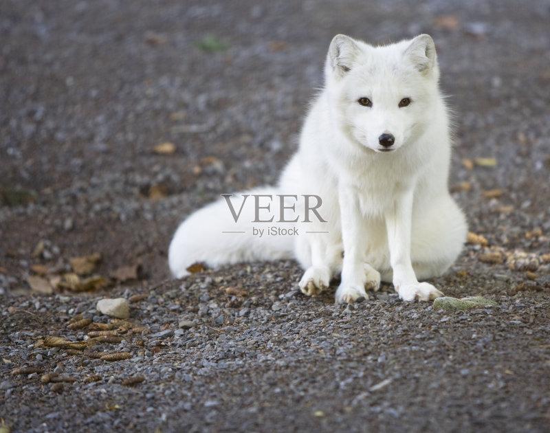 无人 北极狐 白色 哺乳纲 动物 北极图片