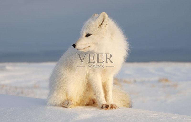 容态度 天空 北极狐 自然 独处 白昼 冰晶 野生动物 鹰爪 动物毛发 地形图片