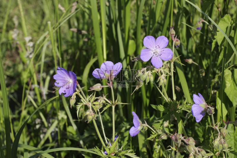 花草-芦苇 野花 绿色 威尔特 蓝色 自然 无人 花 天竺葵 史云顿 陇牛儿苗