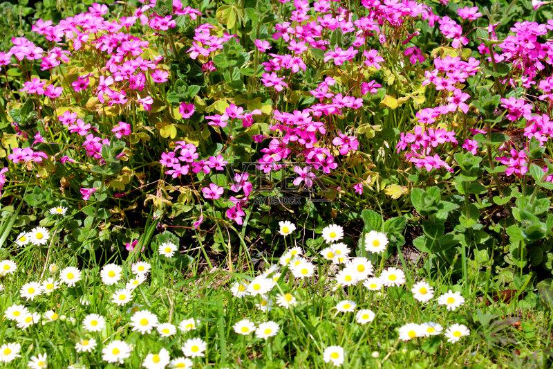 花草-草地 白色 叶子 植物 花坛 茼蒿菊 自然 黄色 雏菊族 草皮 草 草坪