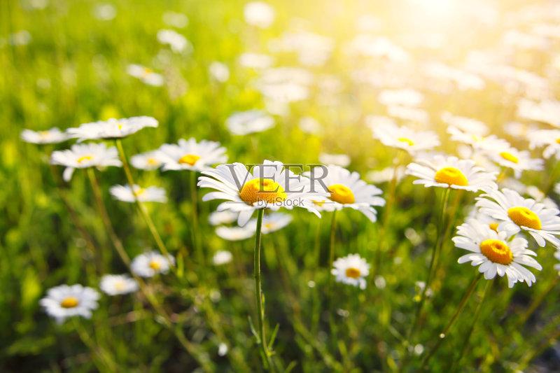 花草-草地 田园风光 开花植物 植物 捷克共和国 春天 自然 茼蒿菊 无人