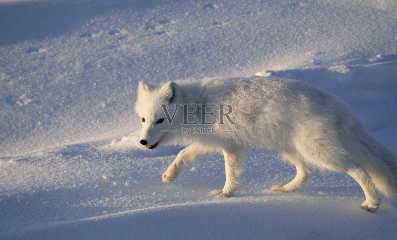 爪 动物毛发 北极狐 地形 季节 一只动物 未经垦殖的土地 下雪 户外 图片