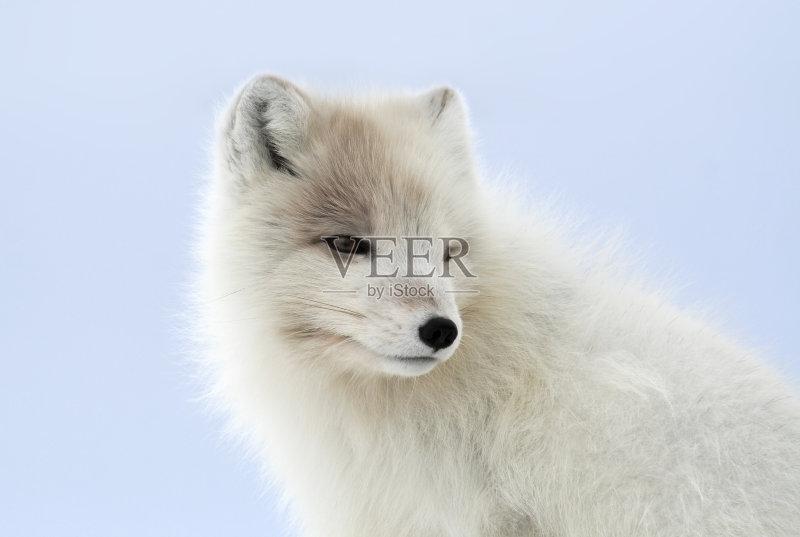 外动物 尾巴 北极狐 蓝色 动物 动物躯体的组成部分 无人 自由 狐狸 图片