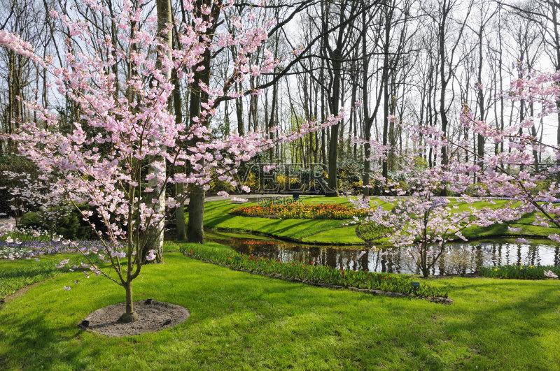 运河 库肯霍夫花园 春天 无人 荷兰 粉色 花 反射 水 树 园艺展览 樱花