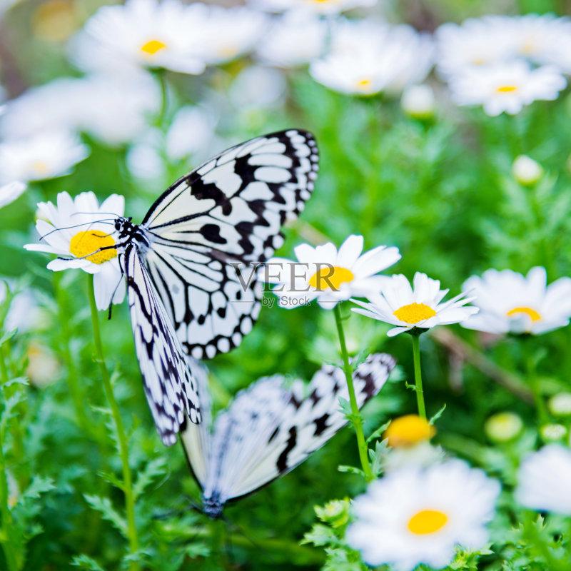 植物 花坛 纸风筝蝶 昆虫 自然 白昼 改变 脆弱 鳞翅类 野生动物 两只动