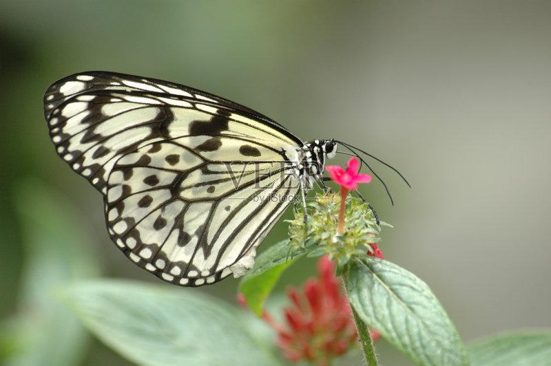 叶子 植物 纸风筝蝶 昆虫 节肢动物 脆弱 圆点 一只动物 宏伟 动物长鼻