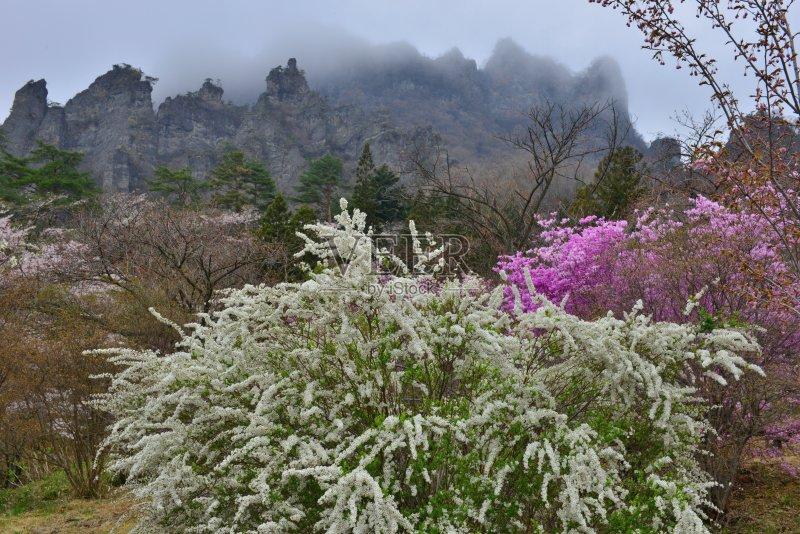 日本 亚洲樱桃树 白色 山 植物 妙义山 火山地形 自然 薰衣草色 旅游目的图片