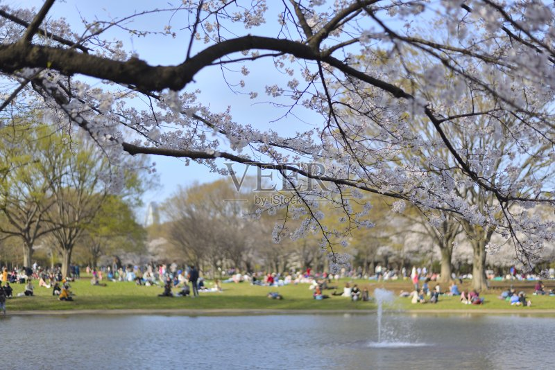 亚洲樱桃树 北海道 植物 美洲稠李 花见节 喝 日本人 樱桃树 涉谷区 草 图片