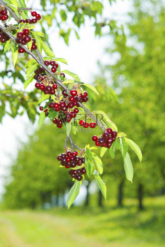 欧洲酸樱桃 樱桃 食品 农业 樱桃树 单行道 地形 嫩枝 悬挂的 户外 果园图片