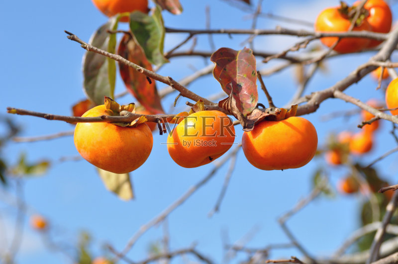 秋天 柿子树 水果 无人 食品